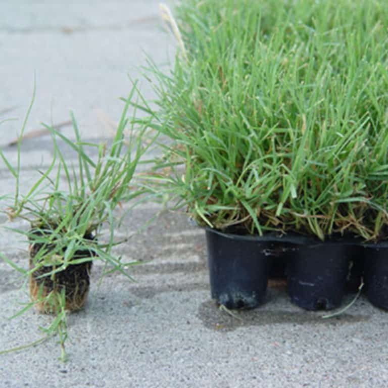 Buffalo Grass Plugs: What is It and How to Care for It