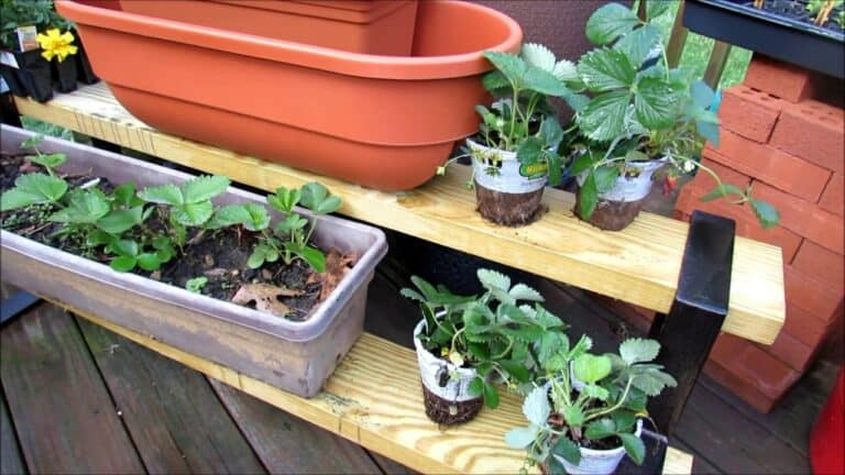 How Often Do You Water Strawberries in Pots? (Solved)