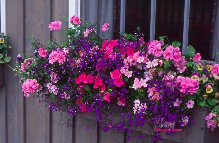 Are Petunias Good for Window Boxes? (10 Examples)