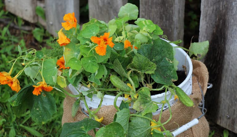 Can You Grow Tomatoes in Plastic Buckets? (With Pictures)