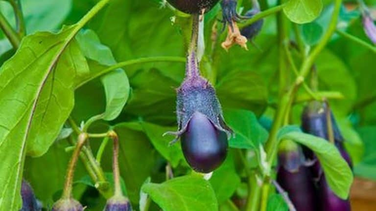 Eggplant Leaves Turning Purple: What You Should Know