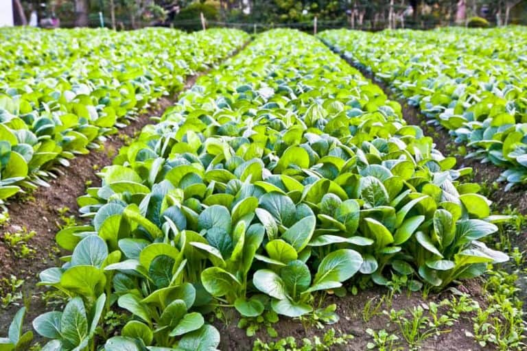 How Much Space Does A Spinach Plant Need? (With Examples)