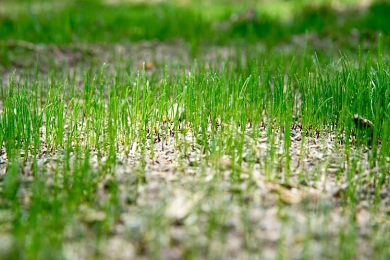 Can You Over Fertilize Bermuda Grass? (Answer with Examples)