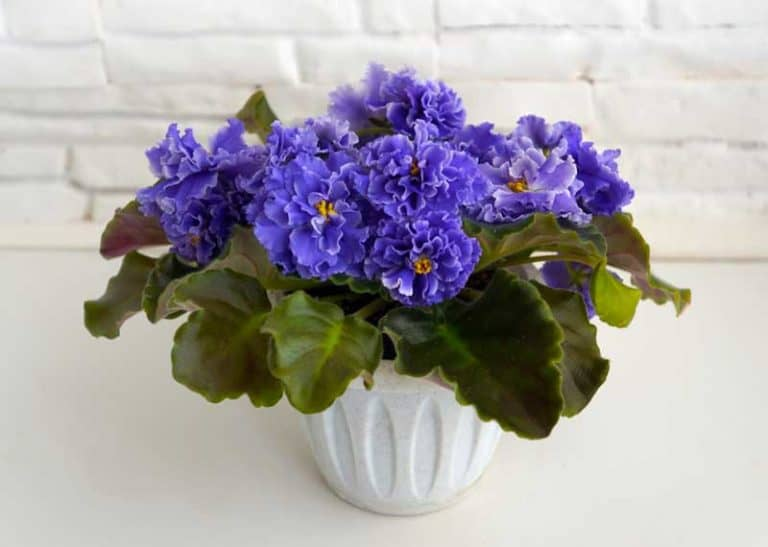 Are Self-watering Pots Good for African Violets?