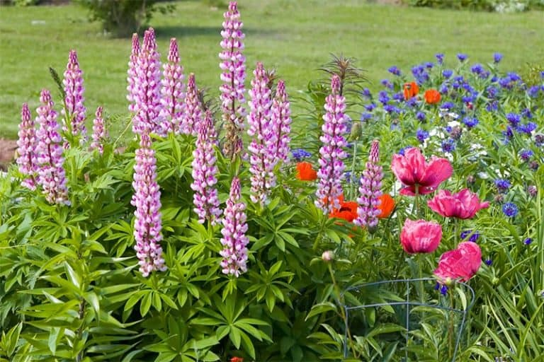 Can You Plant Perennials in Raised Beds? (What You Should Know)