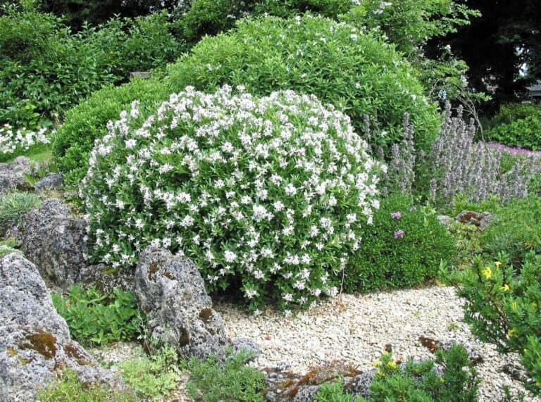 Best Compost For Daphne (Examples with Photos)