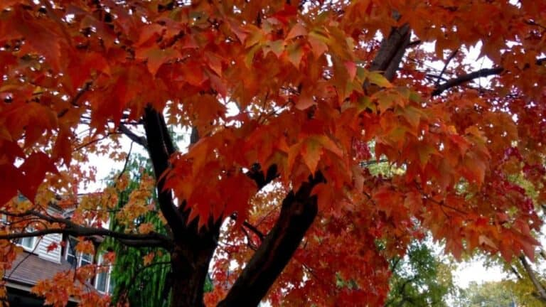 How Far to Plant Maple Tree From House?