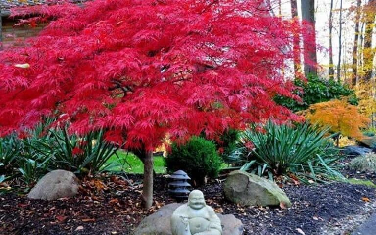 How Tall Does A Dwarf Japanese Maple Get?
