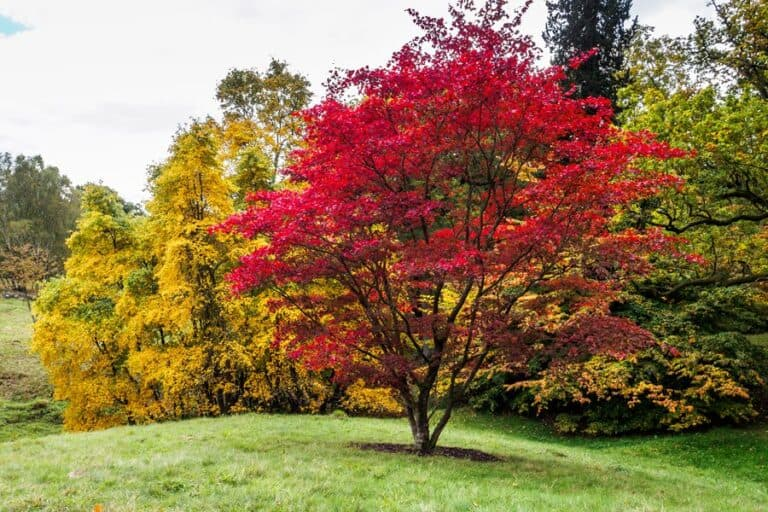 How to Thin a Japanese Maple (A Checklist)