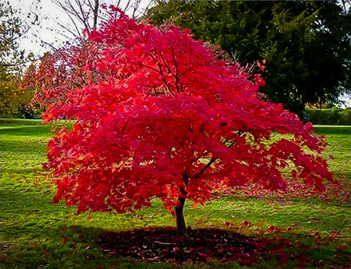 Can I Use Miracle Grow On Japanese Maple Tree?