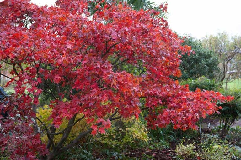 Do Japanese Maples Need A Lot of Water? (How-to Guide)
