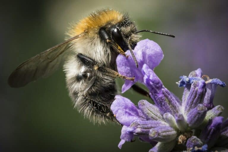 How To Attract Bees To Pollinate Cucumbers (9 Ways)