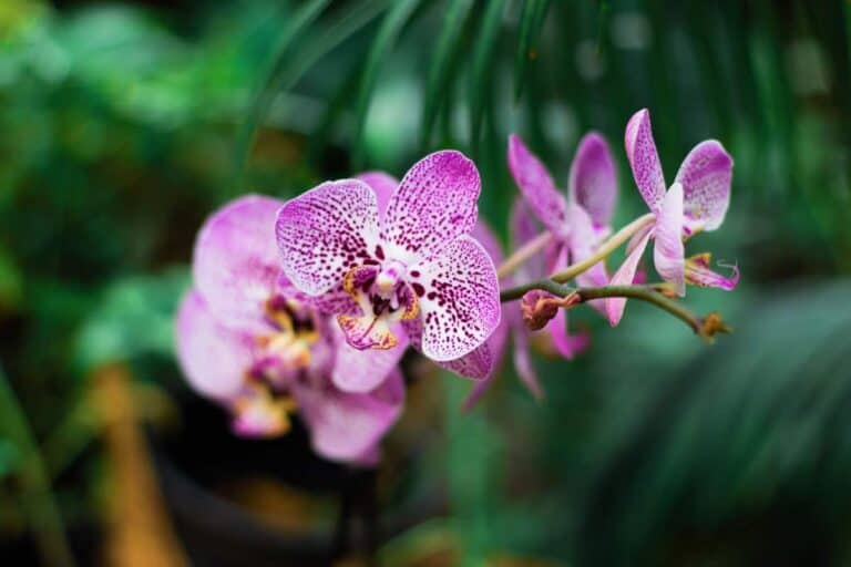 Orchid Keiki vs New Growth (Why Orchids Grow Keikis)