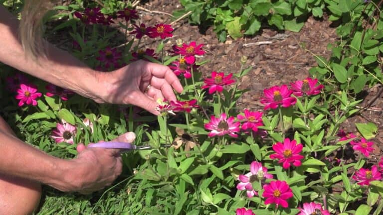 How to Deadhead Zinnias in Pots (Step-by-Step Guide)