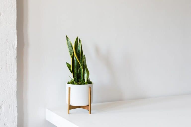 How Many Snake Plant To Clean Air? (Solved)