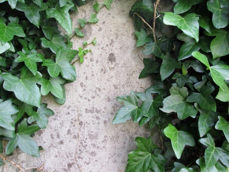 Companion Plants For English Ivy (Top 10 Pairing Plants)