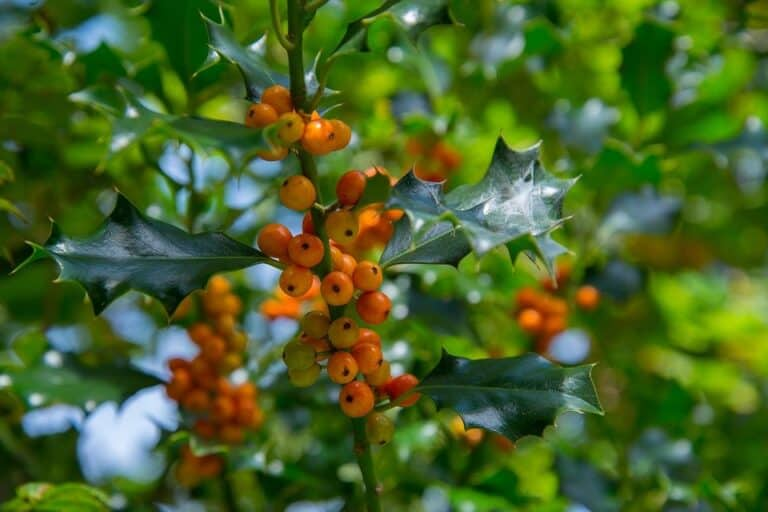 Do Holly Trees Have Deep Roots? (Read This First)