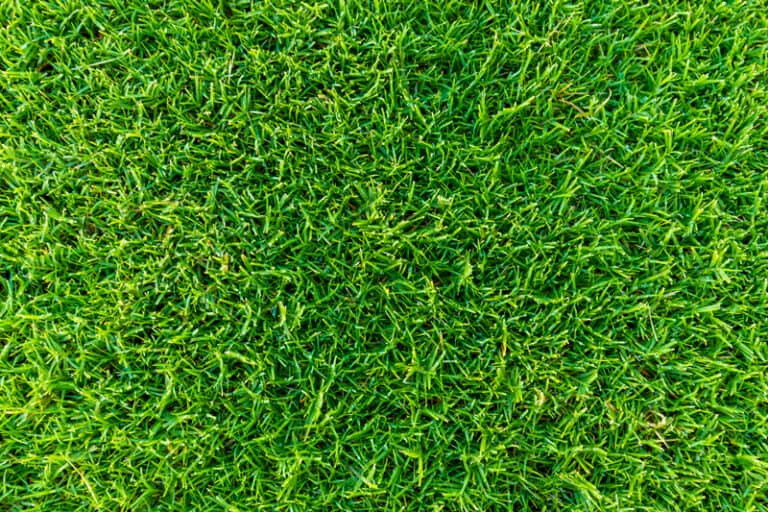 How Do You Thicken Zoysia? (The Complete Guide)
