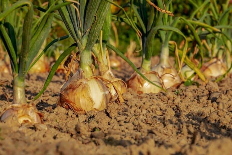 Do Onion Have Deep Roots? (How to Grow Healthy Onion Plants)