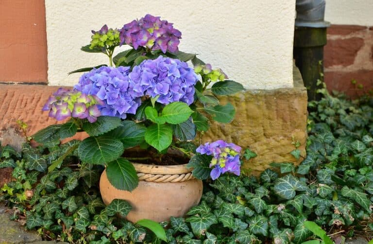 Are Hydrangeas Shallow Rooted? (Important Facts)