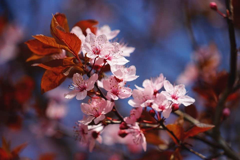 Do Cherry Trees Have Deep Roots Everything You Should Know