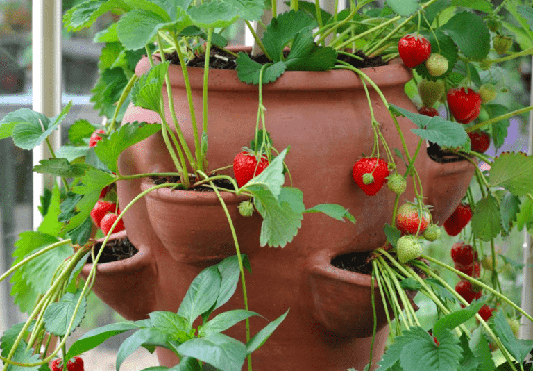 Can Strawberries Grow In Small Pots? (Facts and Best Pots)