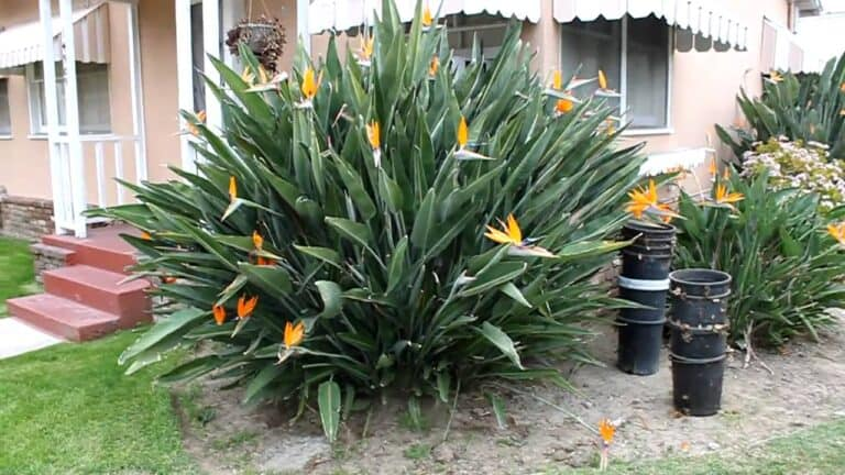 How To Deadhead Bird Of Paradise (Simple Guide)
