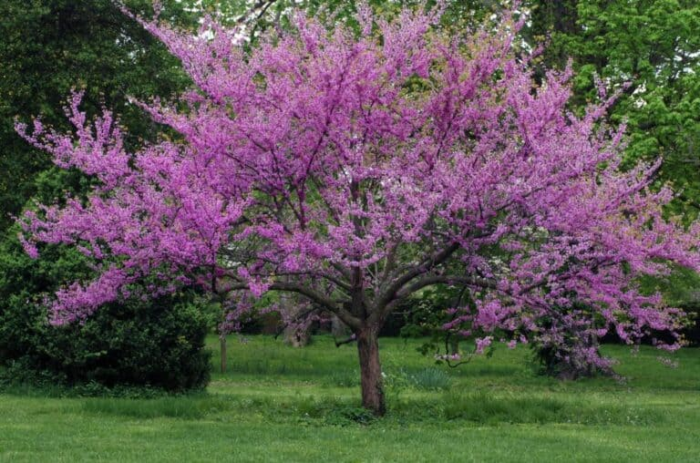 Can You Keep A Redbud Tree Small? (Everything You Need to Know)