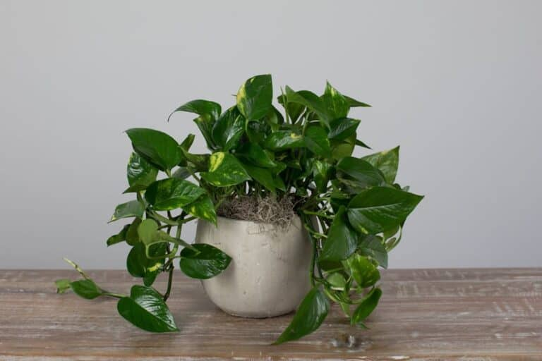 How To Repot Plant From Ceramic Pot (A Checklist)