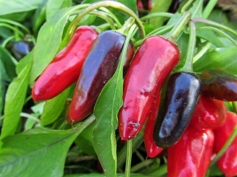 Can You Plant Hot Peppers With Other Vegetables? (Read This First)