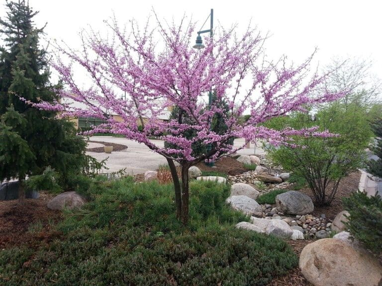 Do Redbud Trees Have Deep Roots? (Read This First)