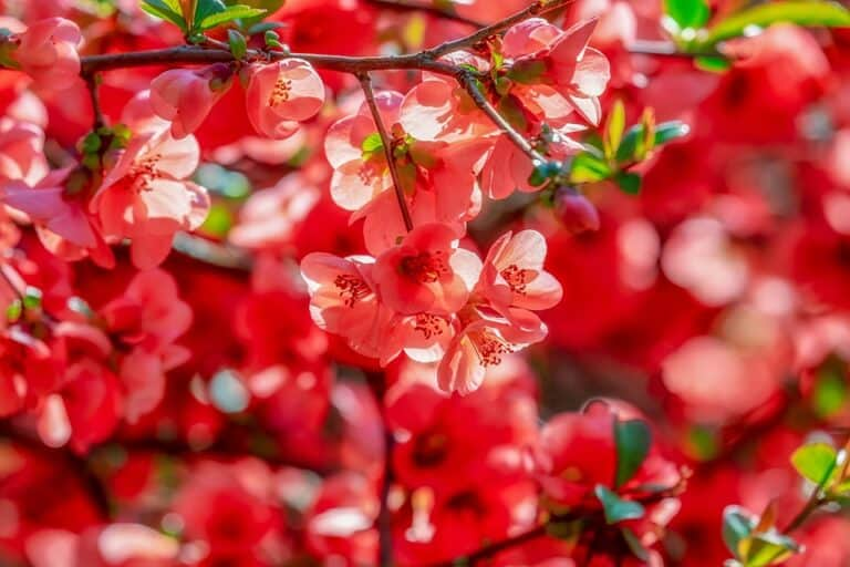 What Shrubs Have Red Leaves? (Top 10 Red-Leaf Shrubs)
