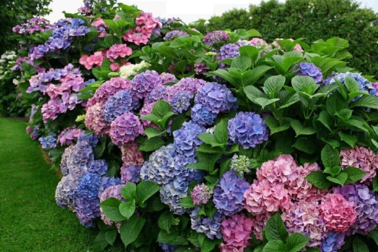 What Side Of The House Do You Plant Hydrangeas?