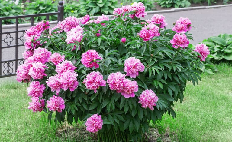 What Side Of House To Plant Peonies? (Explained)