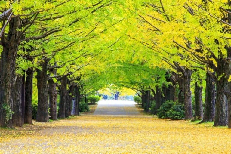 When Do Ginkgo Trees Bud? (Important Facts)