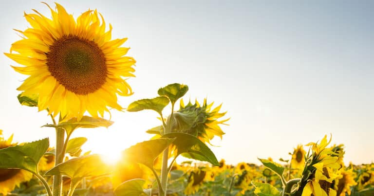 What Side Of The House To Plant Sunflowers? (Explained)