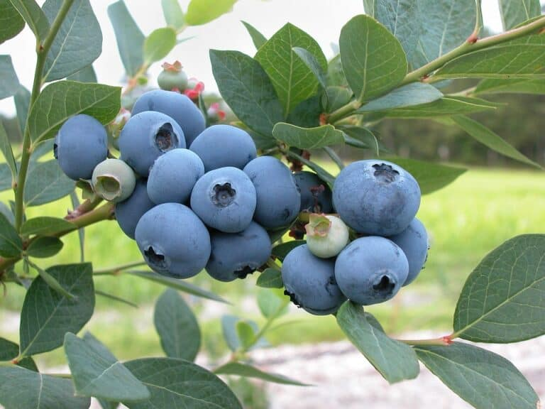 Best Compost For Blueberries (A Gardener's Guide)