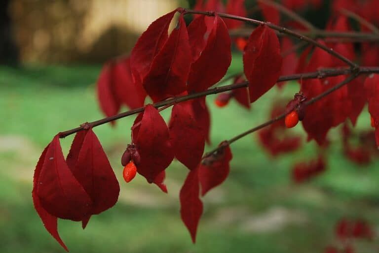Do Burning Bush Have Deep Roots? (Read This First)