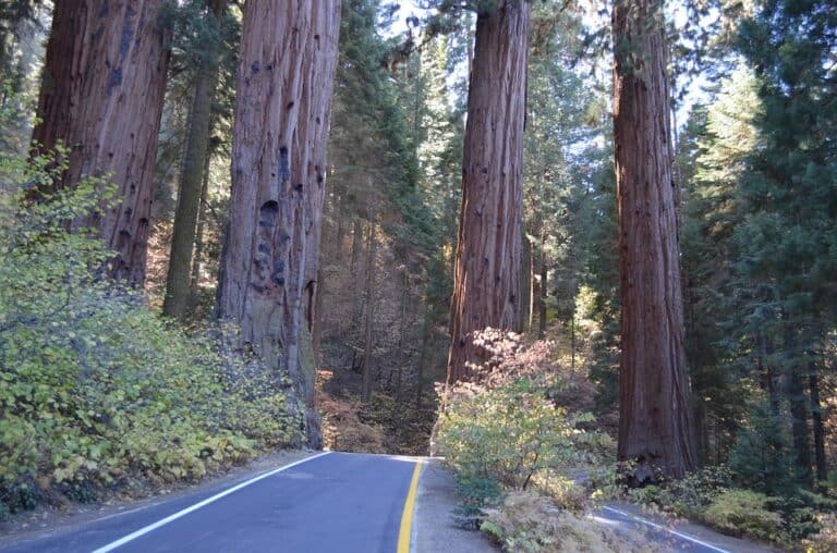 Do Redwood Trees Have Deep Roots? (Read This First)