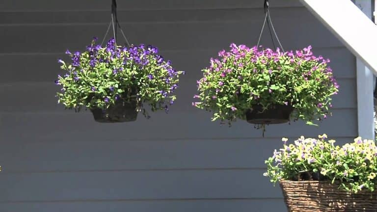 Torenia In Containers (How To Grow And Care For Torenia)