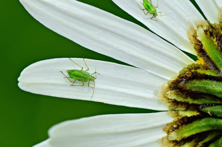 Aphids vs Thrips: Differences | Common Pests Of  Houseplants