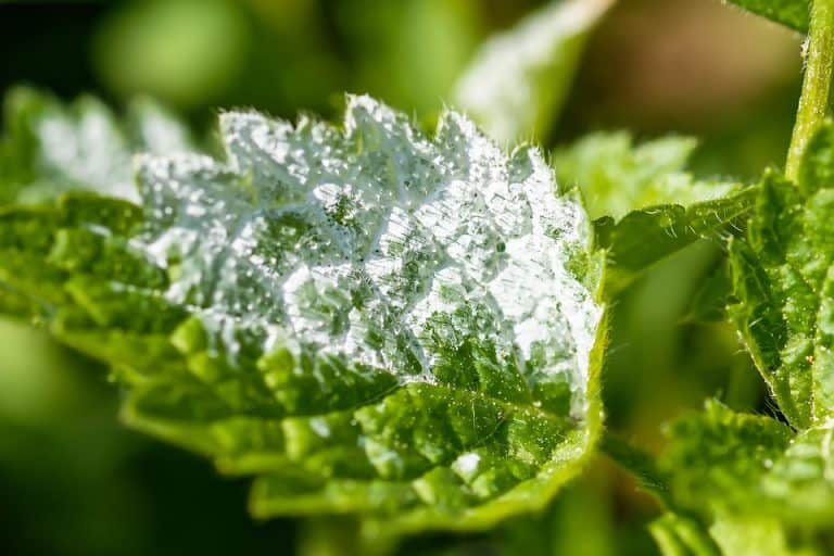 What Is The Best Fungicide For Powdery Mildew?