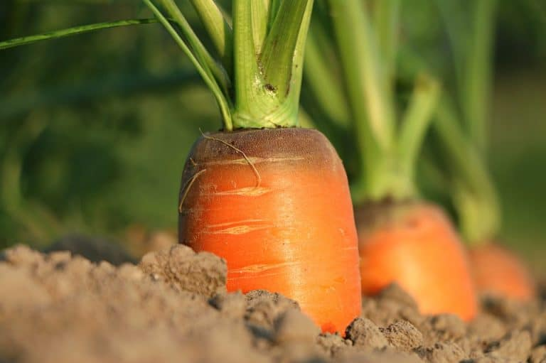 Is Carrot A Fruit Or Vegetable? (How to Classify Carrot)