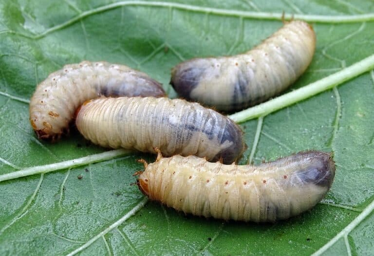 Can Grass Recover From Grubs? (What You Should Know)