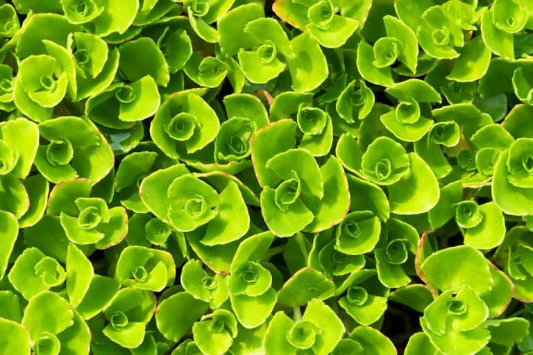Top 10 Ground Cover Plants For Bees (with Pictures)