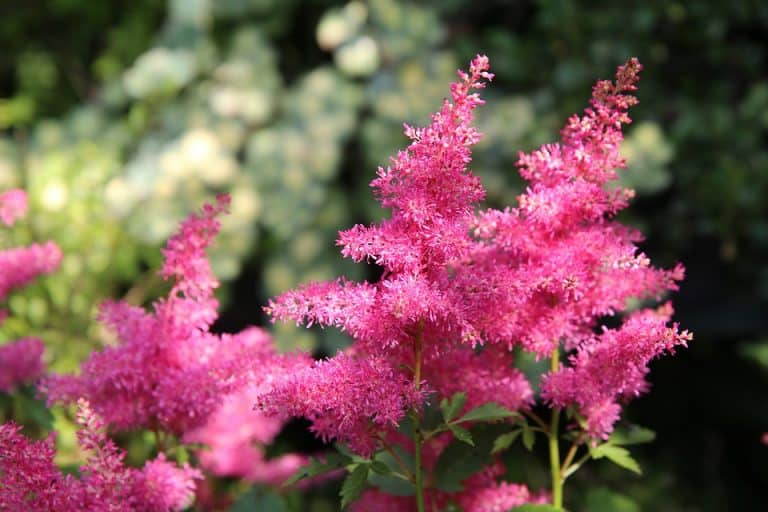 Is Astilbe A Pollinator Plant? (Everything You Should Know)