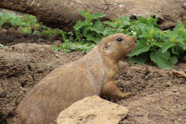 10 Plants That Repel Groundhogs (with Pictures)