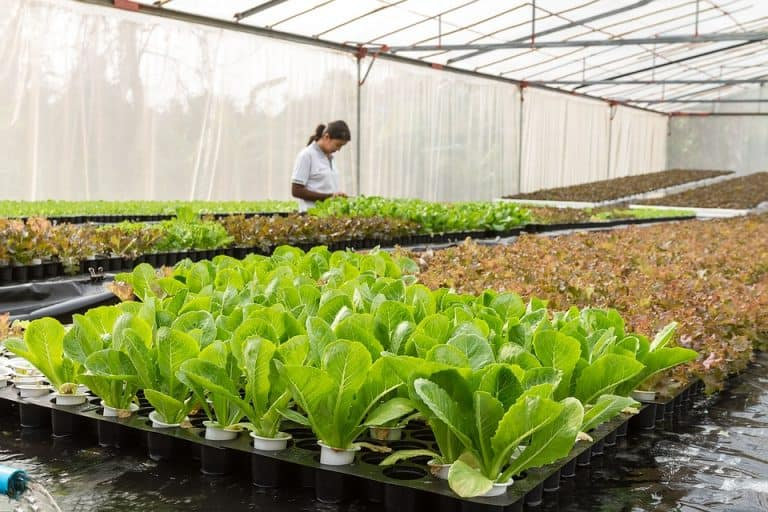 What Plants Can Be Propagated In Water? (Lettuce, Java Fern, Java Moss, Cactus)