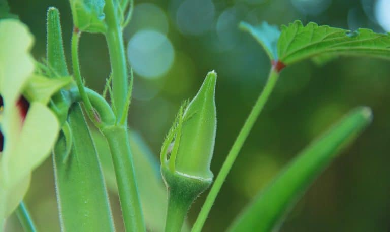 Is Okra A Fruit Or Vegetable? (How It's Classified)
