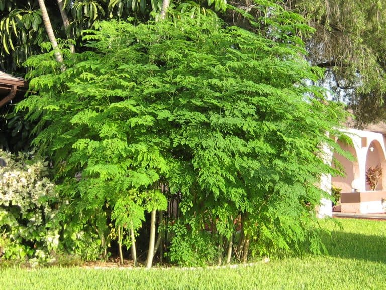 Growing Moringa In Containers: How To Get Started (Guide 2021)